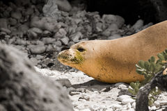 Endangered Hawaiian Monk Seal. At Kaena Point on the Island of Oahu stock photo