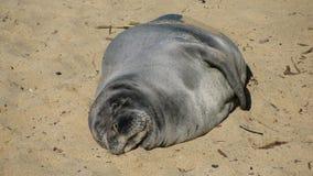 Endangered Hawaiian Monk Seal Stock Photography