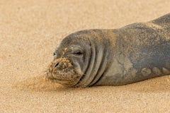 Endangered Hawaiian Monk Seal Close Up. An endangered hawaiian monk seal on a Maui beach Stock Photography