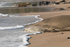 Endangered Hawaiian Monk Seal Close Up Royalty Free Stock Photography