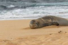 Endangered Hawaiian Monk Seal. An endangered hawaiian monk seal on a Maui beach Stock Photography