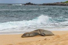 Endangered Hawaiian Monk Seal on Beach. An endangered hawaiian monk seal on a Maui beach Stock Photos