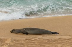 Endangered Hawaiian Monk Seal Resting on Beach. An endangered hawaiian monk seal on a Maui beach royalty free stock photography