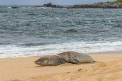 Hawaiian Monk Seal on a Maui Beach. An endangered hawaiian monk seal on a Maui beach Stock Images