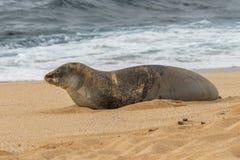 Hawaiian Monk Seal Resting on a Maui Beach. An endangered hawaiian monk seal on a Maui beach Royalty Free Stock Photos