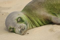 Hawaiian Monk Seal Sleeping On the Sand Close Up Face with Algae. This is an endangered Hawaiian Monk seal peacefully asleep on the beach.  The seal has algae Stock Photography