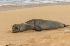 Endangered Hawaiian Monk Seal Resting. An endangered hawaiian monk seal on a Maui beach royalty free stock photography