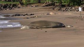 Endangered Hawaiian Monk Seal stock video footage