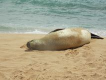 Hawaiian Monk Seal Rests on the Beach. Endangered Hawaiian Monk Seal takes a rest on the beach in Kauai royalty free stock images