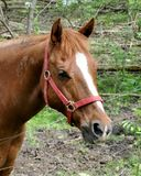 Endangered Horse. This is a picture of a horse that got caught in barbed wire seen by marks on its neck Stock Images