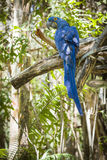 The Endangered Hyacinth Macaw of South America Royalty Free Stock Image