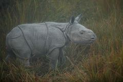 Endangered indian rhinoceros in the nature habitat. Kaziranga national park in India, indian wildlife and nature, assam state Stock Photos