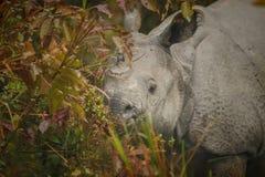 Endangered indian rhinoceros in the nature habitat. Kaziranga national park in India, indian wildlife and nature, assam state Royalty Free Stock Photos