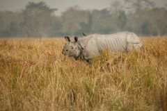 Endangered indian rhinoceros in the nature habitat. Kaziranga national park in India, indian wildlife and nature, assam state Royalty Free Stock Photography