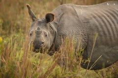 Endangered indian rhinoceros in the nature habitat. Kaziranga national park in India, indian wildlife and nature, assam state Stock Image