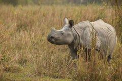 Endangered indian rhinoceros in the nature habitat. Kaziranga national park in India, indian wildlife and nature, assam state Royalty Free Stock Images