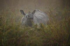Endangered indian rhinoceros in the nature habitat. Kaziranga national park in India, indian wildlife and nature, assam state Stock Photography