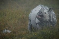 Endangered indian rhinoceros in the nature habitat. Kaziranga national park in India, indian wildlife and nature, assam state Royalty Free Stock Photos