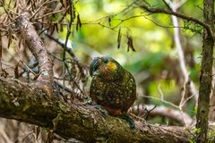A Beautiful Endangered Kaka Parrot Foraging for Food in the Forest