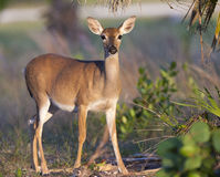 Endangered Key Deer standing on limestone base with palm and pal Stock Photo