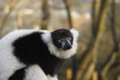 Endangered Lemur. This shot of an endangered Black & White Lemur was captured at a UK zoo Stock Photo