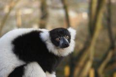 Endangered Lemur. This shot of an endangered Black & White Lemur was captured at a UK zoo Stock Photo