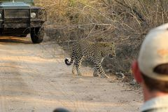 The endangered leopards of Africa as seen by tourists royalty free stock photo