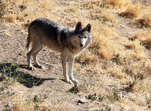 Endangered Mexican Gray Wolf. This is an extremely rare, highly endangered Mexican Gray Wolf Stock Image