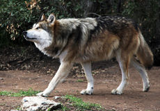 Endangered Mexican Gray Wolf Stock Images