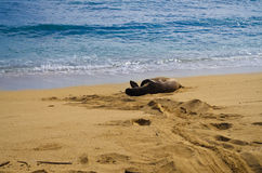 Endangered Monk Hawaiian seal Stock Images