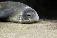 Endangered Monk Seal. Lays on sands of Kauai beach.  He is peeking from under drooping eyelids Royalty Free Stock Image