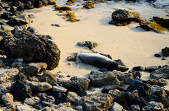 Endangered Monk seal Royalty Free Stock Photos