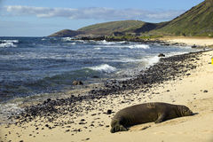 Endangered Monk Seal, Oahu Hawaii. An endangered, solitary monk seal snoozes on a quiet beach mid-day on the Hawaiian Island of Oahu royalty free stock images