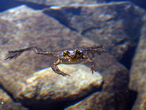 An endangered mountain yellow legged frog swimming Royalty Free Stock Images