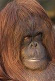 Endangered Oragutan. A close-up of an endangered female Orangutan Royalty Free Stock Image
