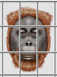 An endangered orangutan Royalty Free Stock Photos