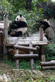 Endangered panda eating bamboo Stock Photography