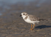 Endangered Piping Plover. On beach Royalty Free Stock Photography