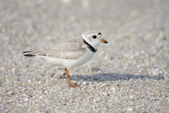 Endangered Piping Plover (Charadrius melodus) Stock Photo