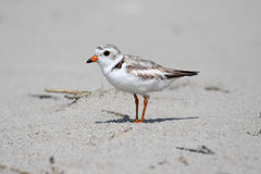 Endangered Piping Plover (Charadrius melodus) Stock Photos