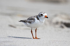 Endangered Piping Plover (Charadrius melodus) Royalty Free Stock Images