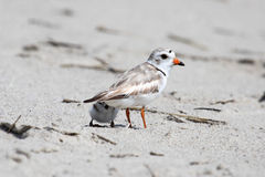 Endangered Piping Plover (Charadrius melodus) Stock Images