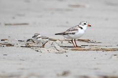 Endangered Piping Plover (Charadrius melodus) Stock Photography