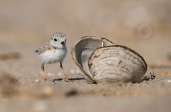 Piping Plover Portrait Royalty Free Stock Photos