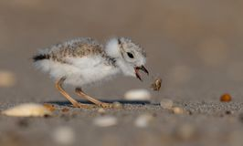 Piping Plover Portrait Stock Photo