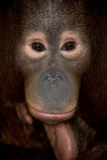 Endangered primate orangutan Stock Image