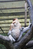 Endangered Proboscis monkey on the tree. Picture of endangered Proboscis monkey sitting on the tree in the cage at the conservation place Stock Photos
