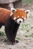Endangered Red Panda. In captivity Stock Photo