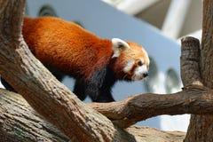 Endangered red panda. In its habitat Stock Image