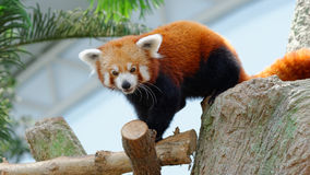 Endangered red panda Stock Photo